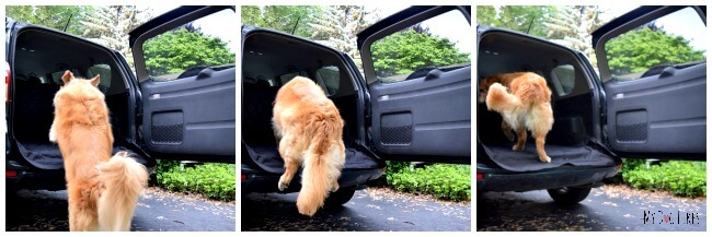 Harley jumping into our Toyota Rav4. With 2 active Golden Retrievers in our family we have found this to be a great SUV for dogs!