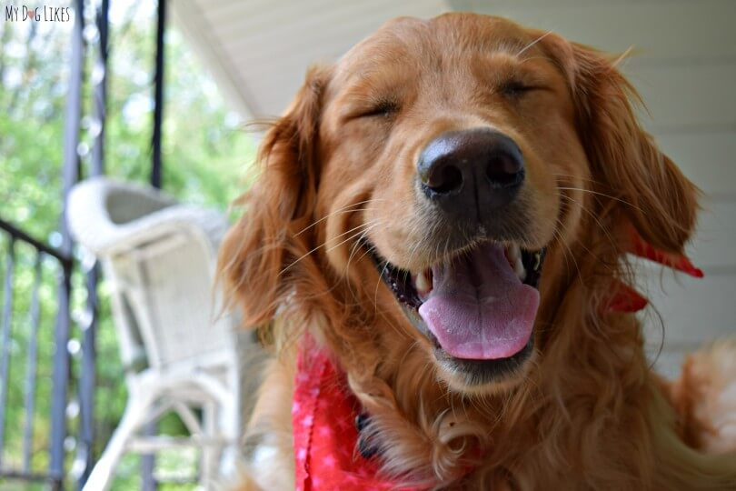 Our Golden Retriever Charlie showing off his million dollar smile!