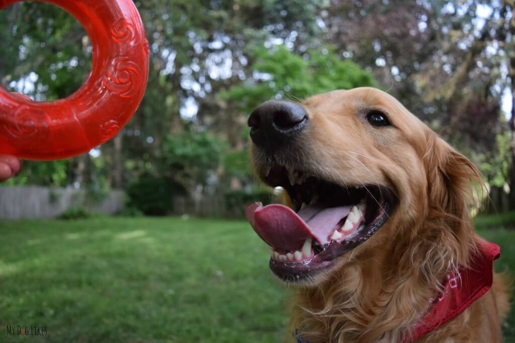 Charlie excited to test out the KONG Squeezz Ring. Could this become his latest fetch obsession?