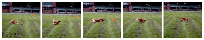 Action shots of Dog Chasing Frisbee