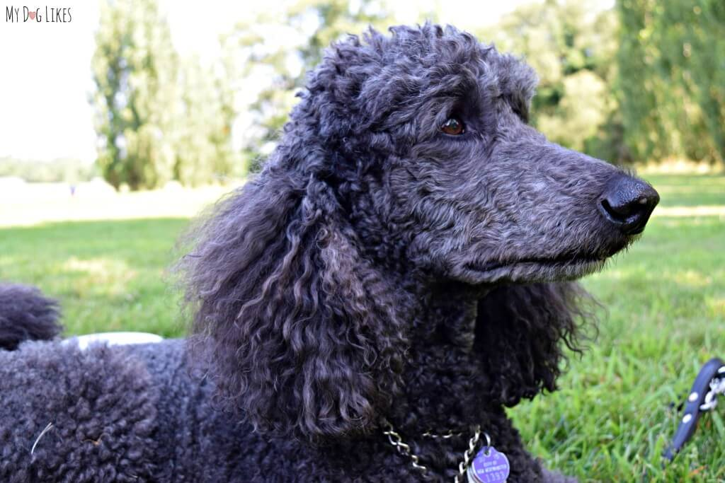 Meeting a Poodle Service Dog at the NBBA World Series in Rochester, NY