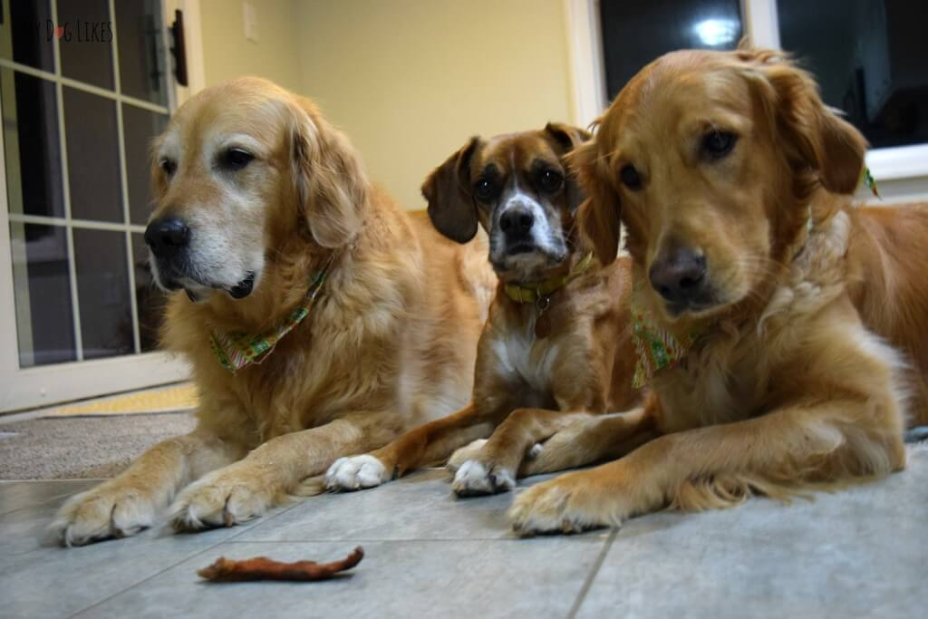 """Harley, Charlie and Mia practicing their """"Leave It"""" command"""