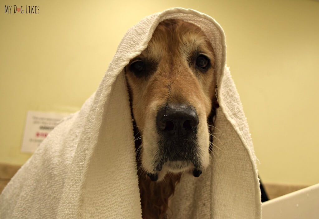 Harley with a Dog Towel after a bath at PetSaver SuperStore in Rochester, NY