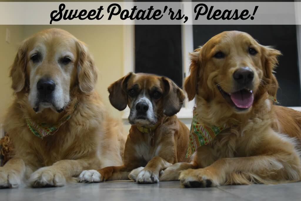 Begging for some more Sweet Potato Treats!