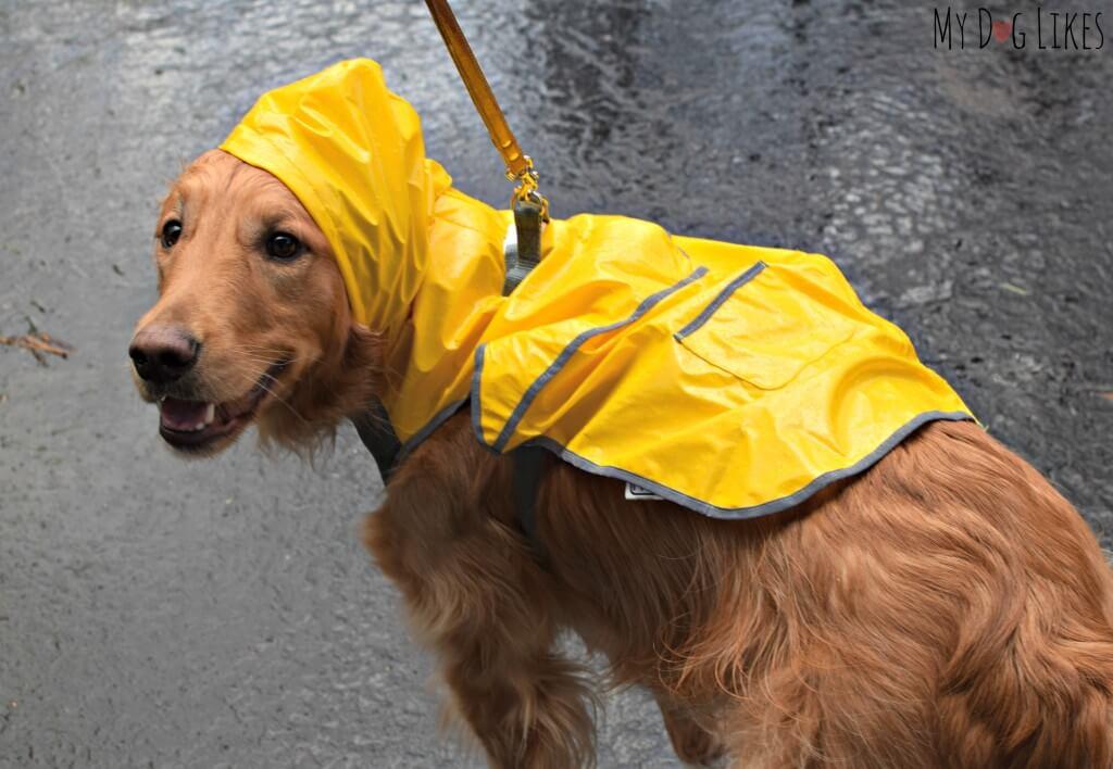 Charlie modeling his dog raincoat