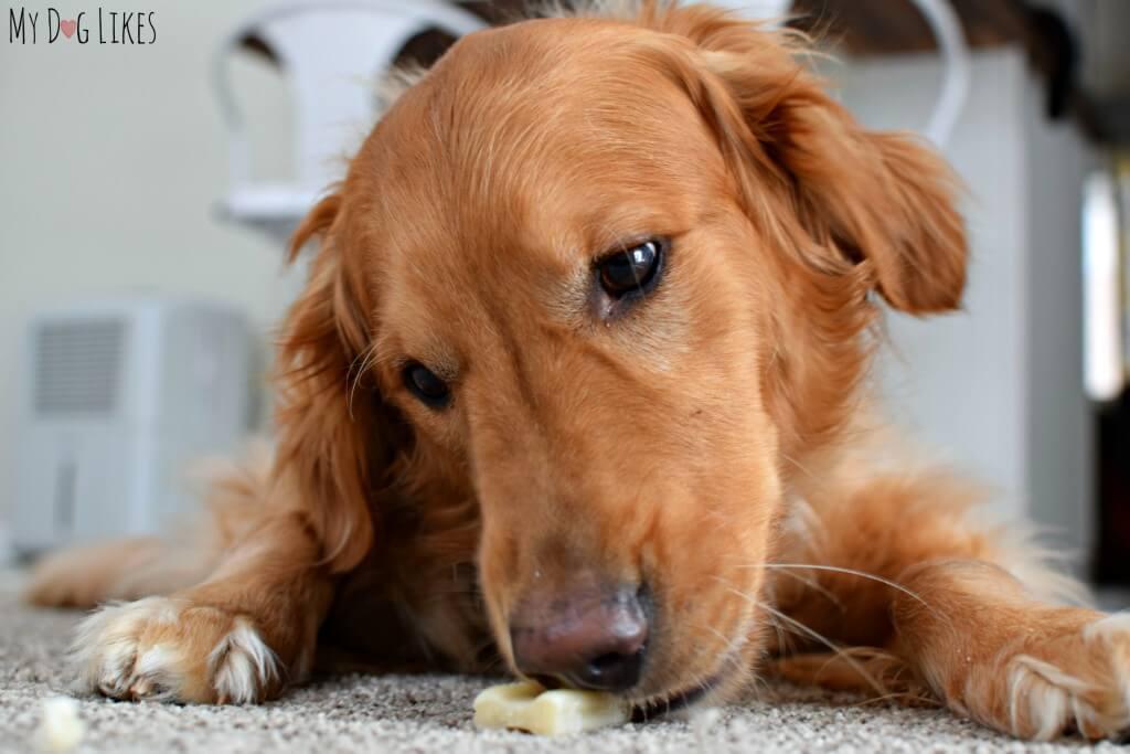 Our Golden Retriever Charlie enjoying a dog dental chew