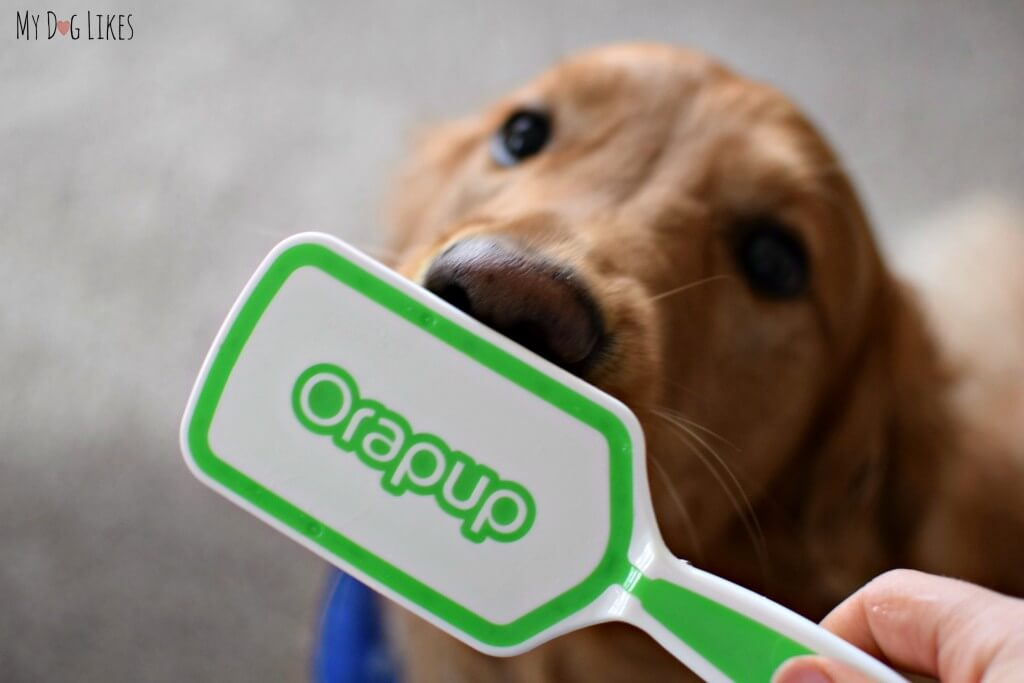 Our Golden Retriever Charlie using his Orapup tongue brush