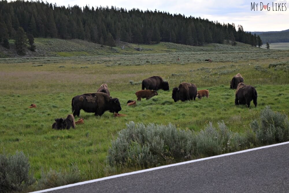 Family of Bison and young calves in Eastern Yellowstone