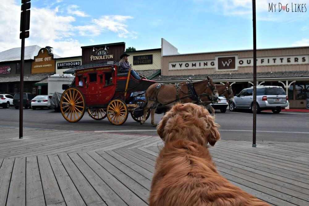 Visiting Jackson Hole, Wyoming with Dogs. Here is Charlie watching the horse and buggy in the town square!