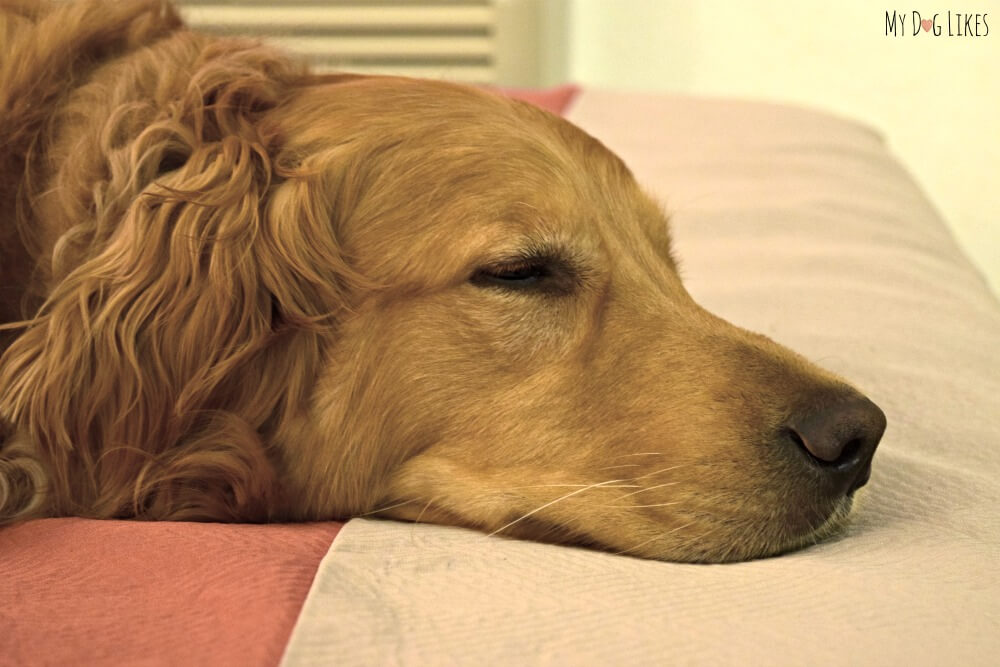 Golden Retriever dog sleeping on the bed