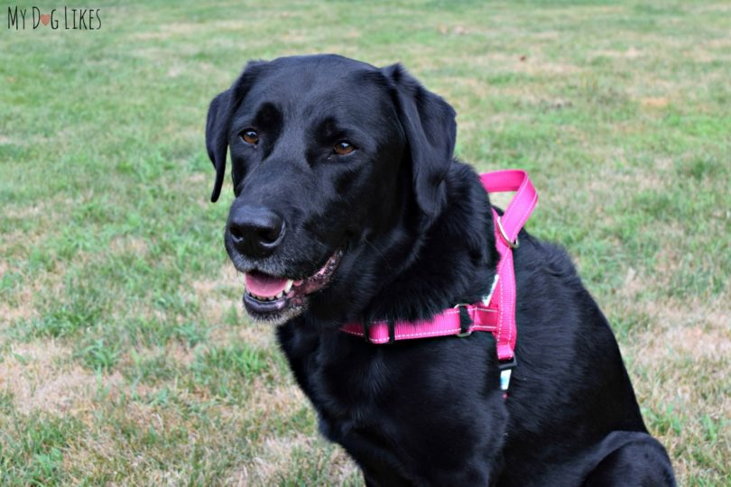 Reviewing the EZHarness - adjustable dog harness from DEXDOG.