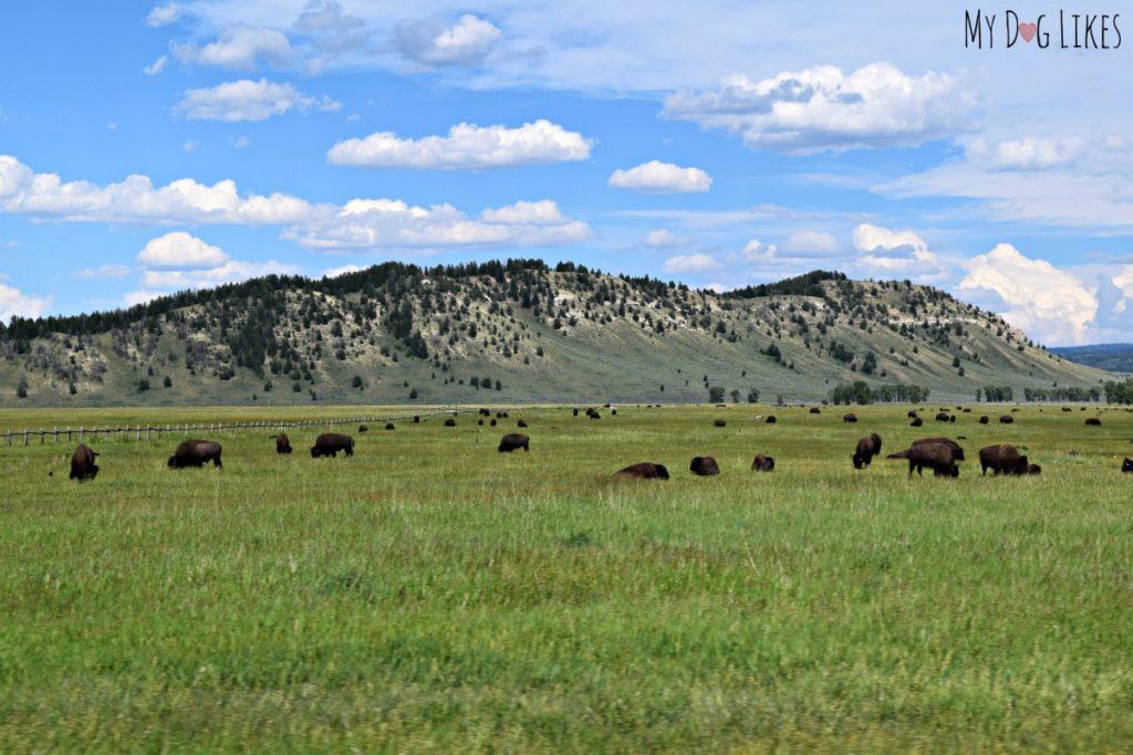 A herd of Bison on the National Elk Refuge in Wyoming
