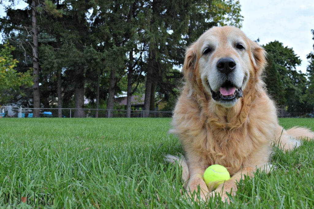 Our gorgeous and sweet senior Golden Retriever, Harley