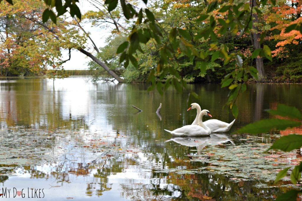 Catching a pair of swans in Eastman Lake