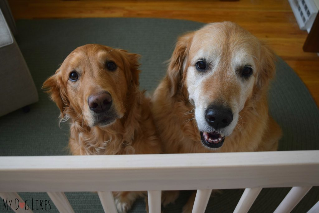 Golden Retrievers begging for some attention
