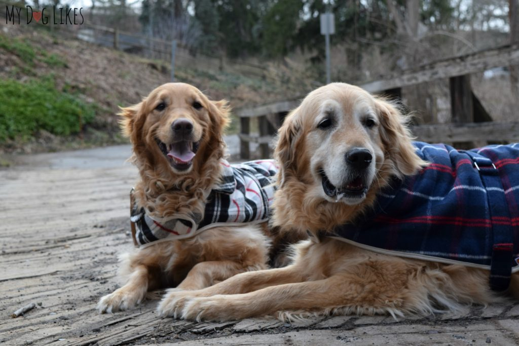 Harley and Charlie wearing their PrideBites cloaks for dogs