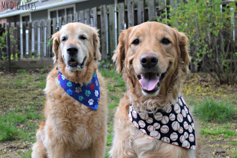 Harley and Charlie modeling their new dog bandannas
