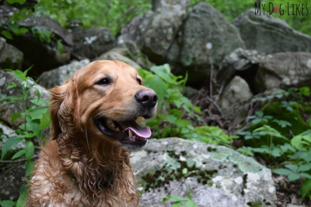 Our Golden Retriever Charlie posing with a large rock outcropping on the Butternut Trail