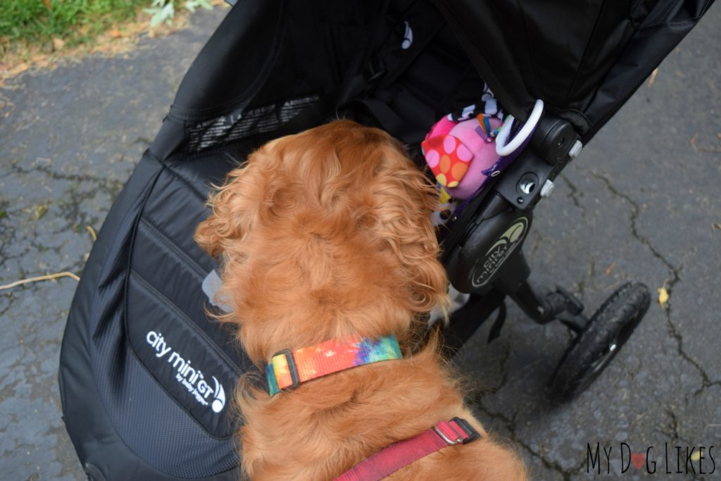 Encouraging our dog to sniff and explore the stroller to get comfortable with it