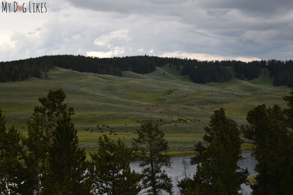Herd of Buffalo in the Hayden Valley of Yellowstone