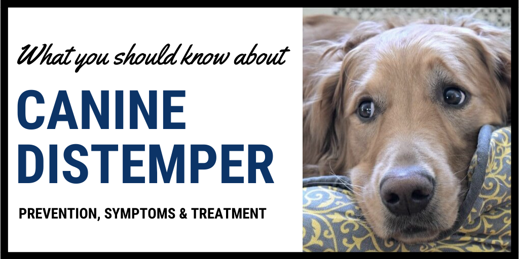 How do Dogs get Distemper? Your Basic Questions Answered