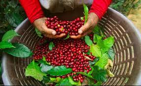 Best coffee in costa rica alajuela