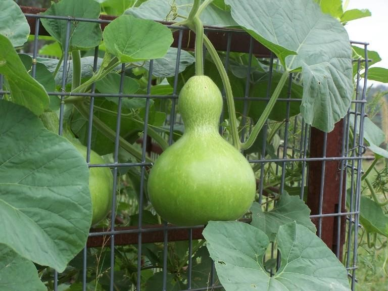 Birdhouse Gourd in Growing Stage