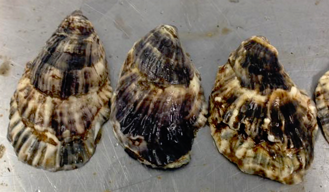 striped oyster shells