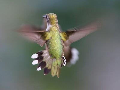Hummingbird-Aerodynamics