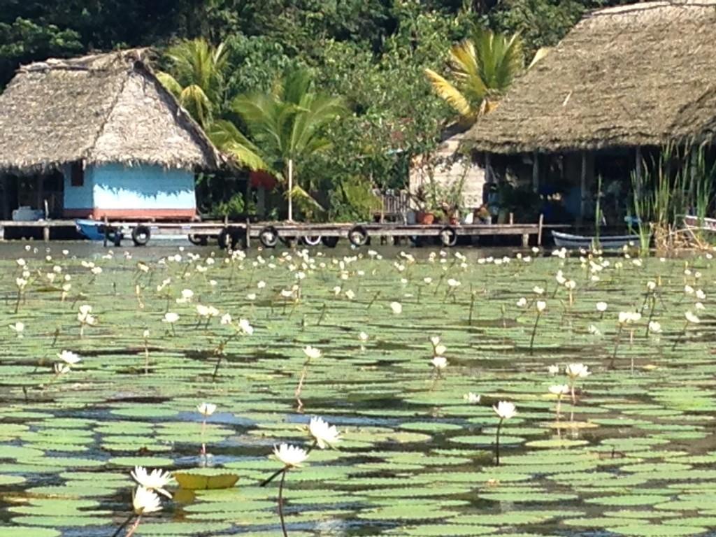 Rio Dulce water lilies