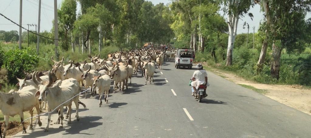 herd of brahmas