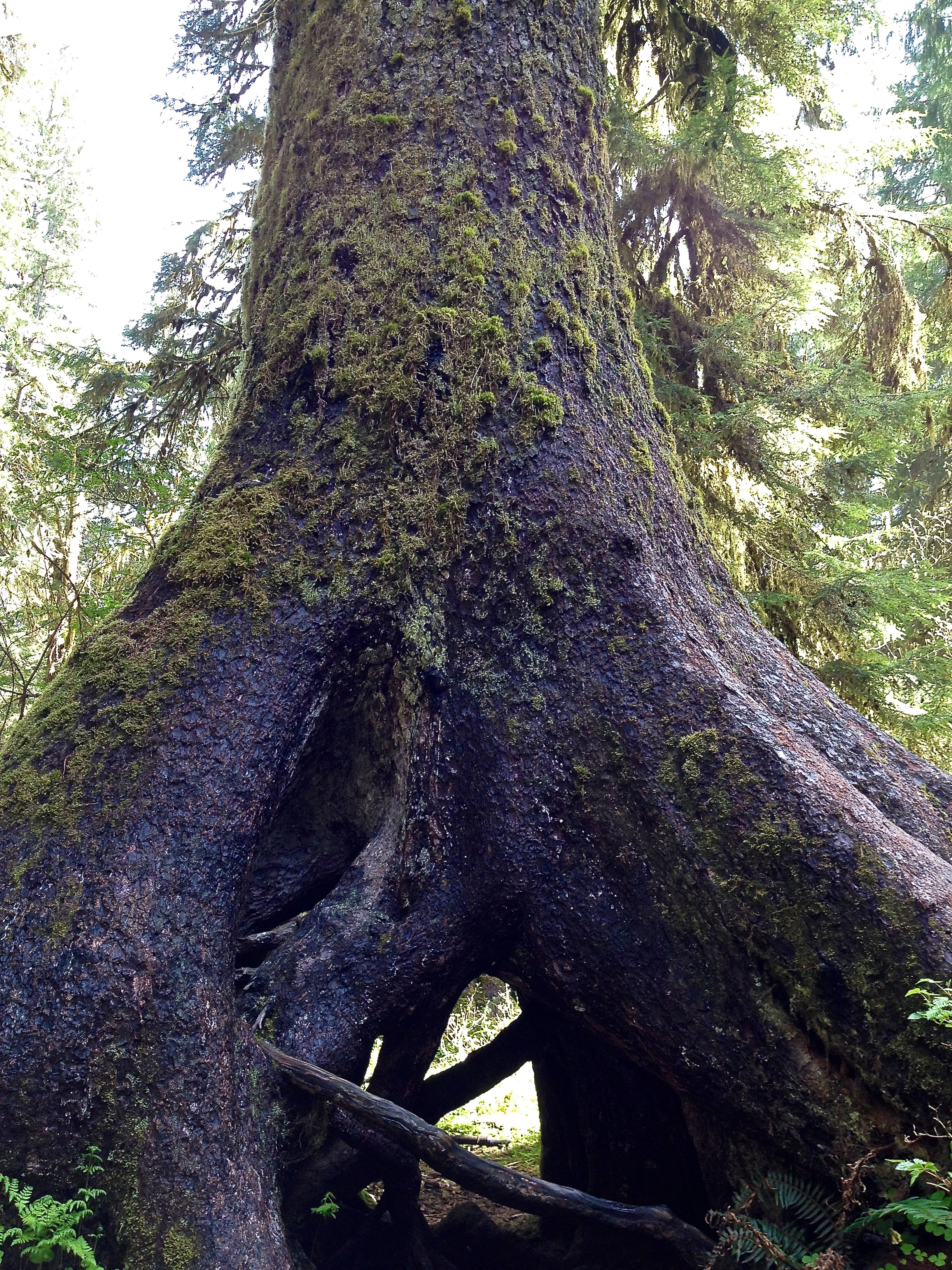 Huge tree in the Hoh Rainforest