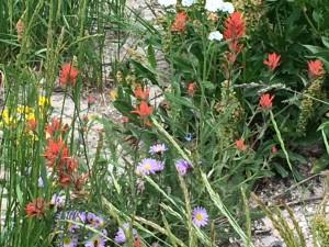 Cedar Breaks wild flowers