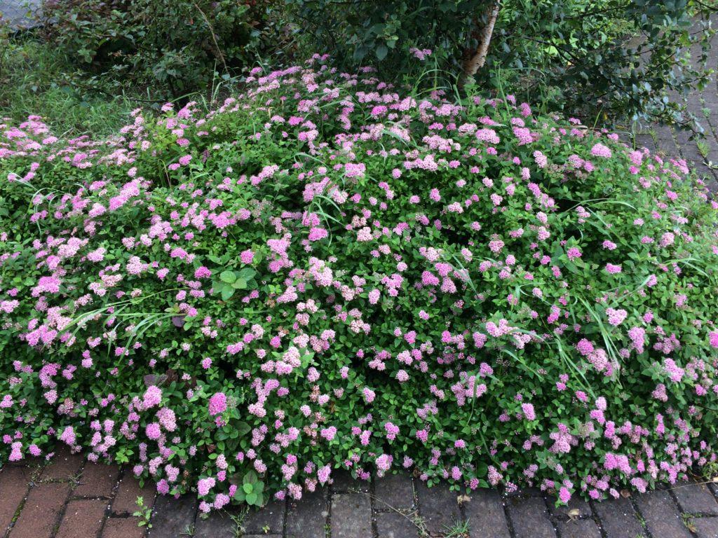Hveragerdi flowers in September