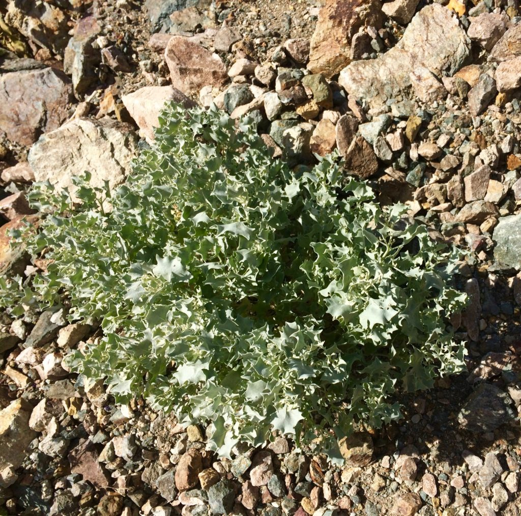 Desert Holly - silver leaves reflect sunlight - winter flowers pollinated by wind
