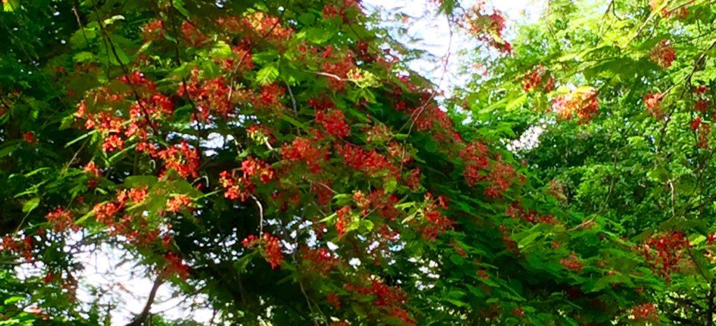 Flamboyant tree limb