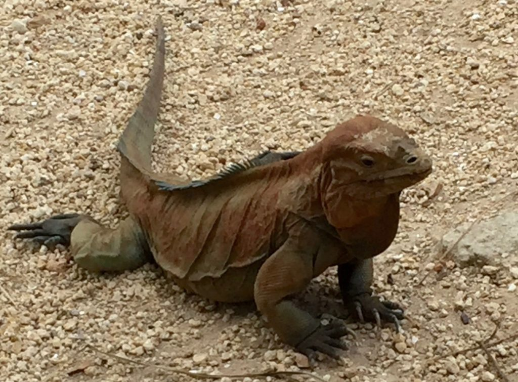 Rhinoceros-iguana in brown