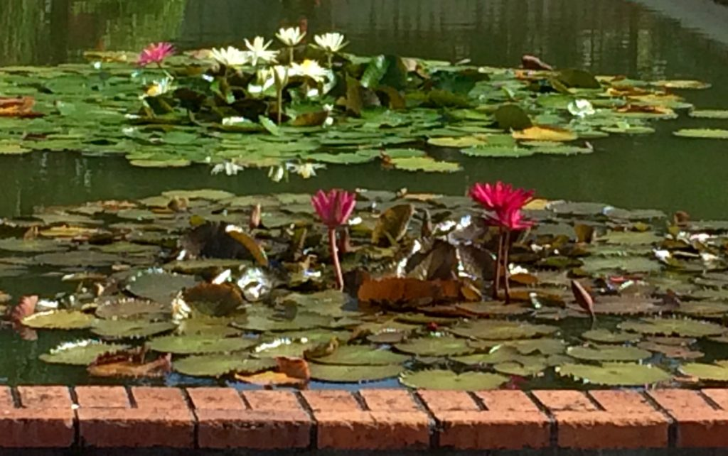 Water lilies in the Botanical Gardens