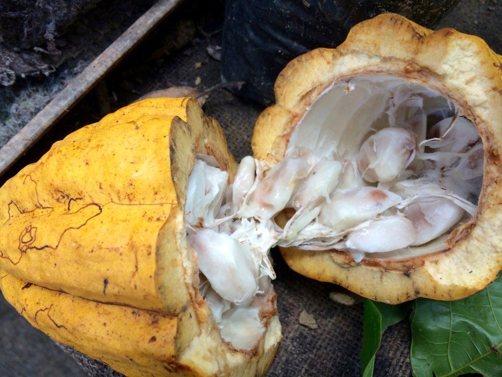Cacao seeds inside a pod
