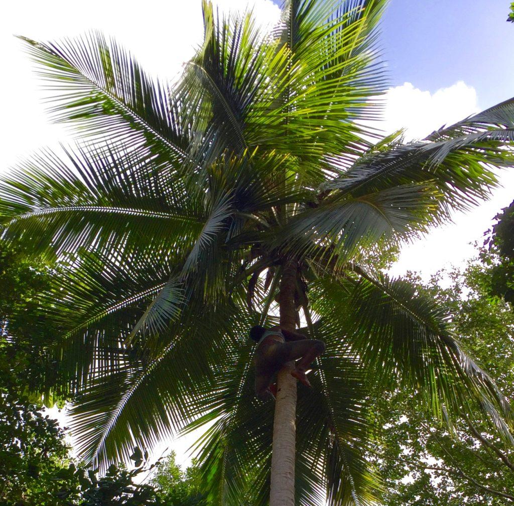 Shinny up a coconut palm 7