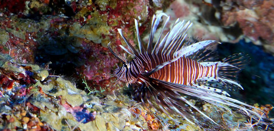 lionfish in aquarium - National Ocean Service photo
