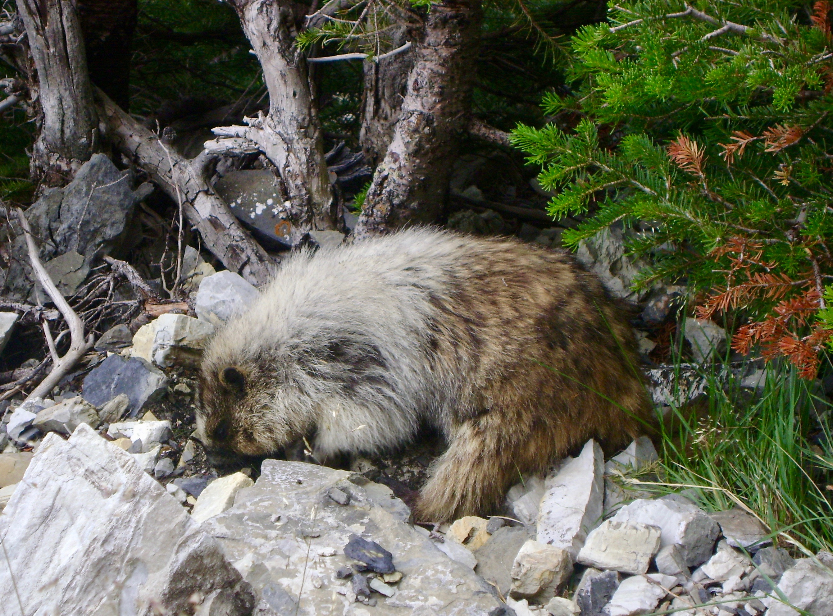 Hoary Marmot of Glacier National Park