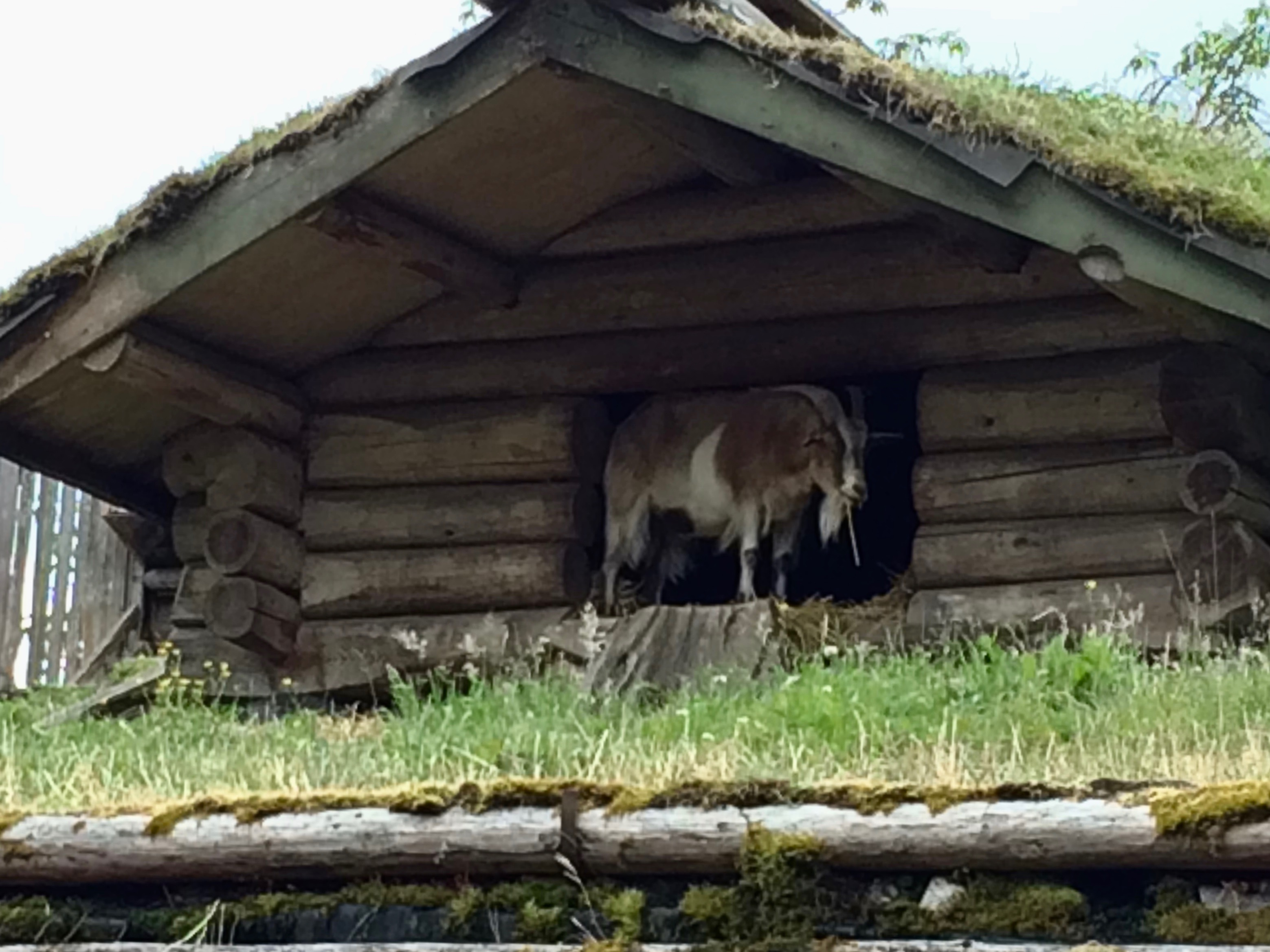 A goat on the roof?