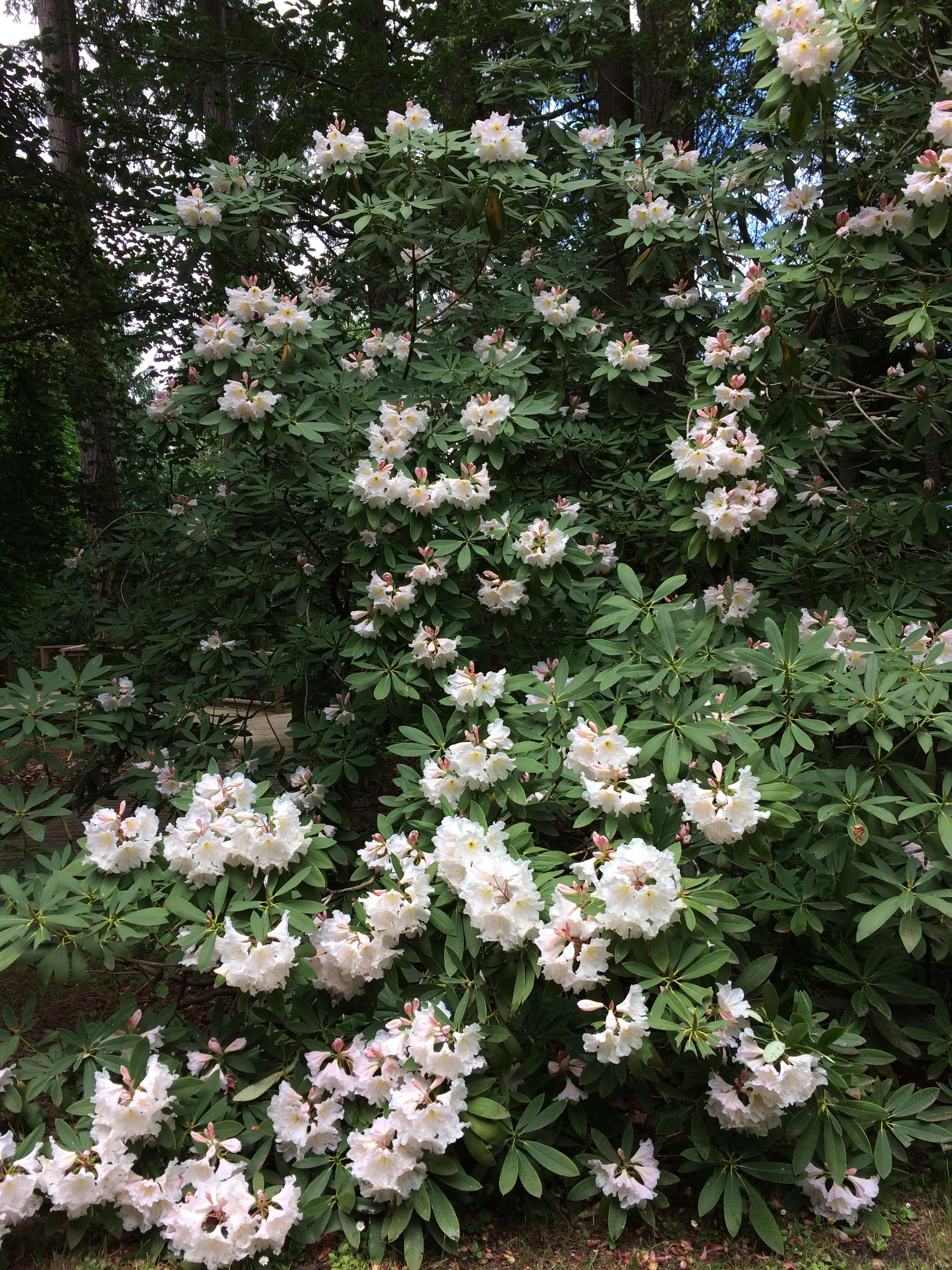 Azaleas at Milner Gardens