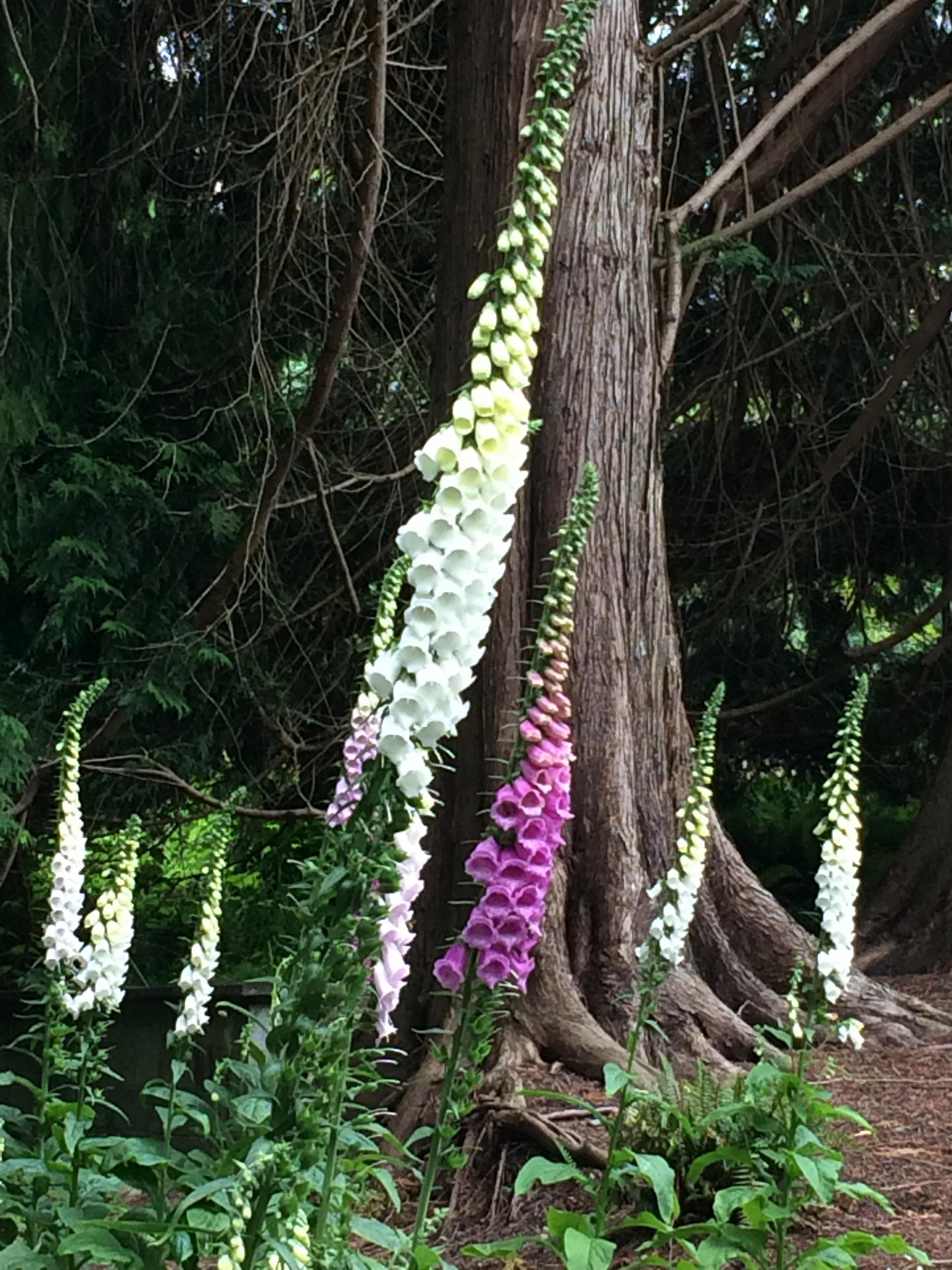 Foxglove at Milner Gardens