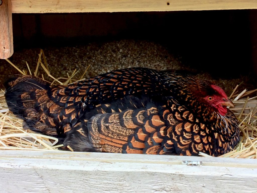 One grumpy hen