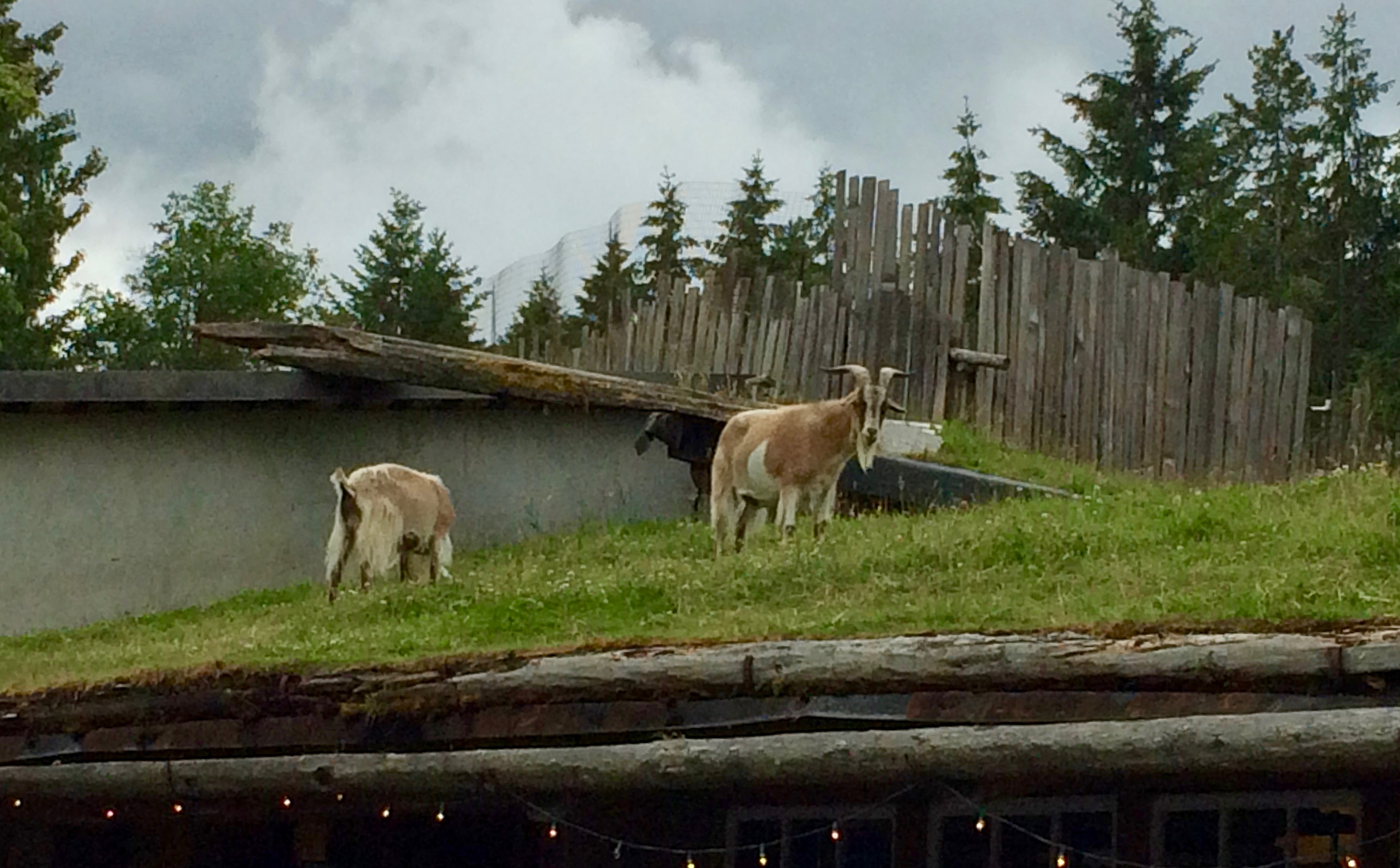 Two goats on the roof!