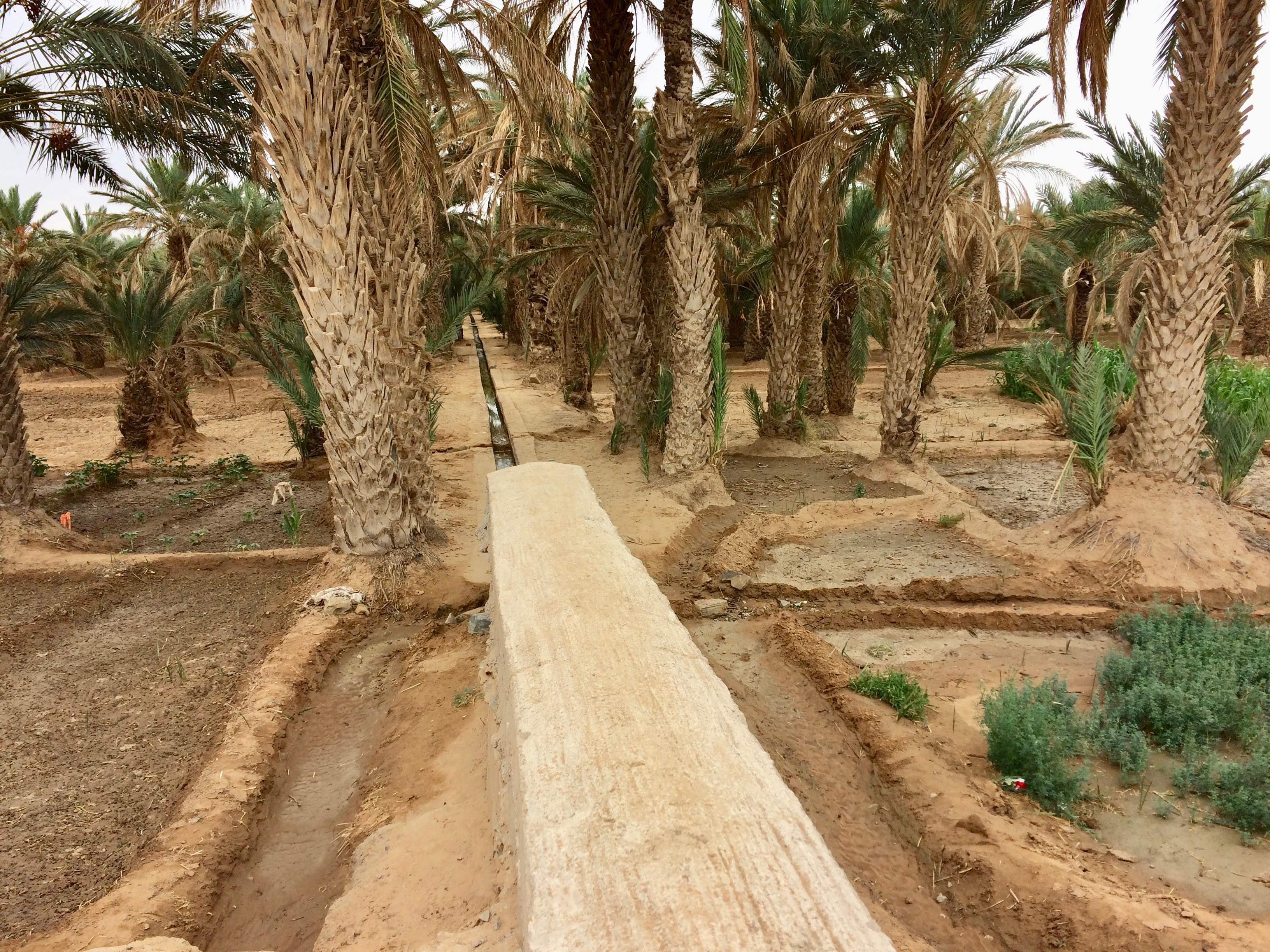 Oasis irrigation via seguia