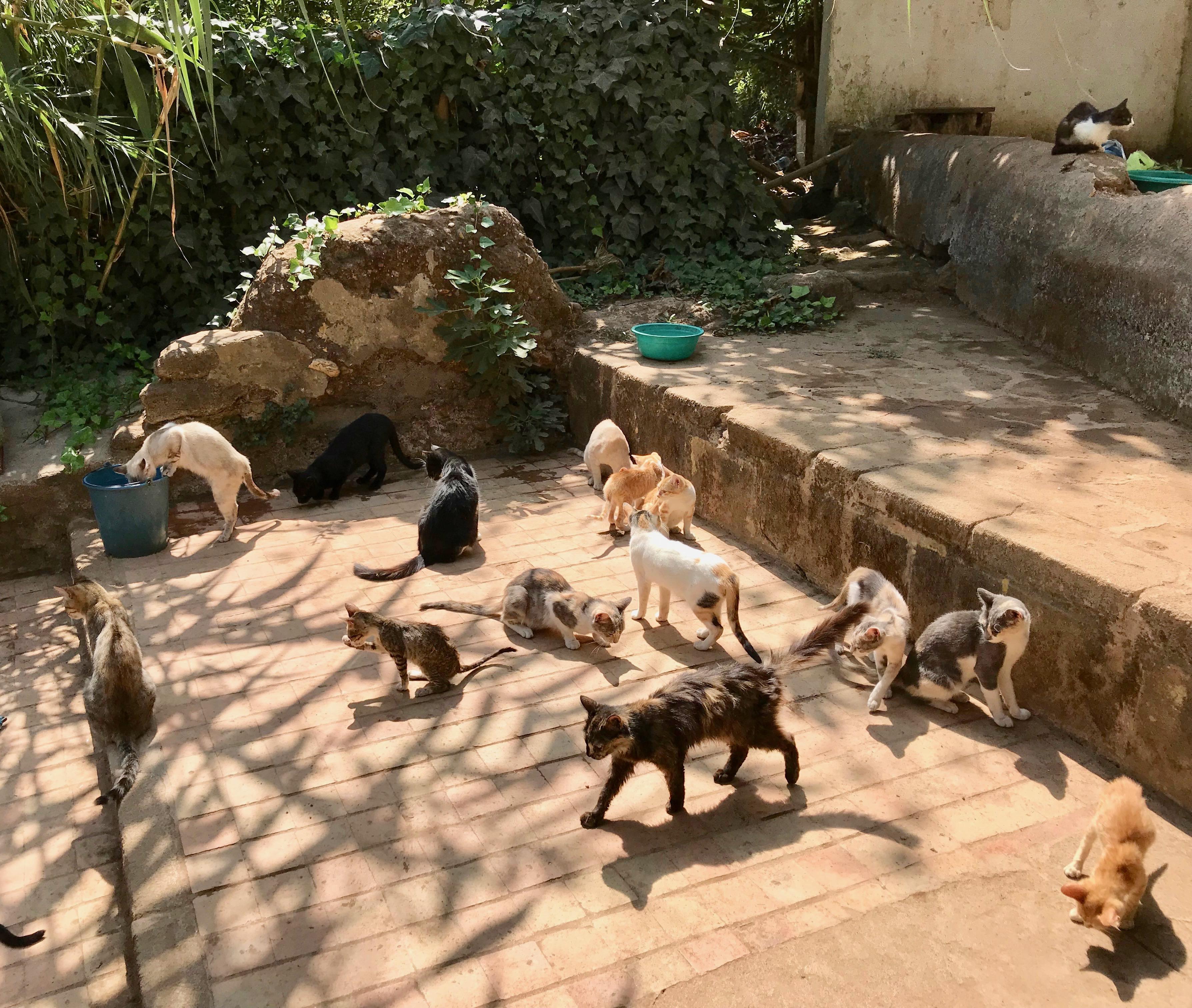 Cats after the egg shells at Chellah, Rabat
