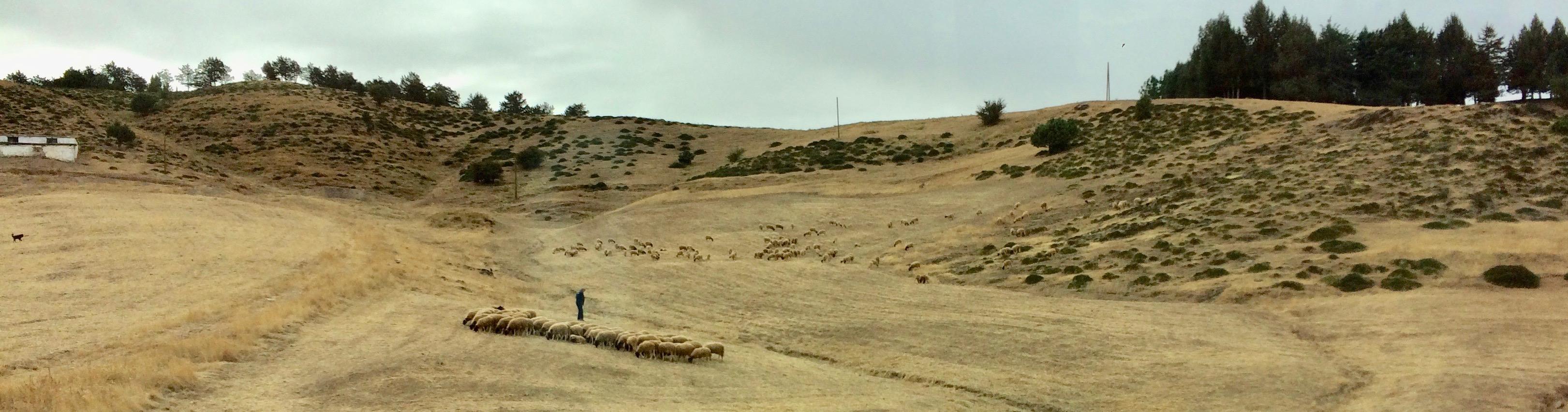 Shepherd and flock near Meknes